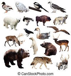 állhatatos, közül, európai, animals., elszigetelt, white