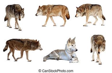 állhatatos, közül, kevés, wolves., elszigetelt, felett, white háttér
