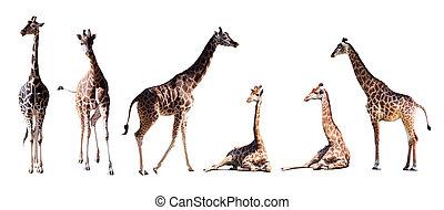 állhatatos, közül, kevés, zsiráf