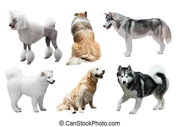 állhatatos, közül, kutyák, felett, fehér