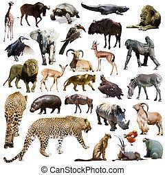 állhatatos, közül, leopárd, és, más, afrikai, állatok, felett, fehér