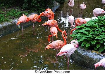állhatatos, közül, piros, flamingó