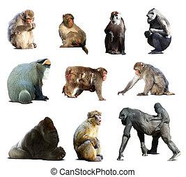állhatatos, közül, sok, monkeys., elszigetelt, felett, fehér