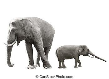 állhatatos, közül, sumatran, elefánt, kép