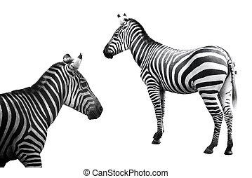 állhatatos, közül, zebra, kép