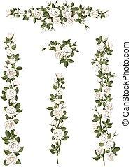 állhatatos, söpör, agancsrózsák, mászó, white virág
