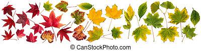 állhatatos, színes, zöld, elszigetelt, gyűjtés, ősz, bukás