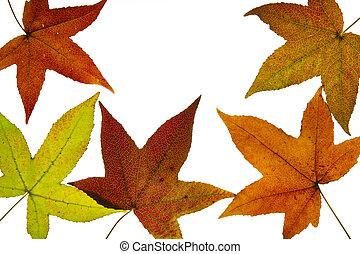 ámbar, líquido, hojas, otoño, árbol, backlit