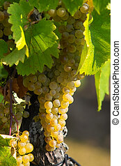 ámbar, uvas