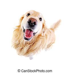 ángulo, vista, dorado, de par en par, perro cobrador