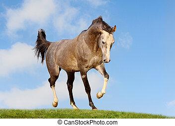 árabe, campo, cavalo