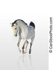 árabe, cavalo, isolado