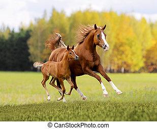 árabe, libre, caballo, en, otoño, plano de fondo