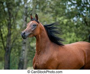 árabe, retrato, cavalo