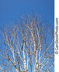 árbol, abedul