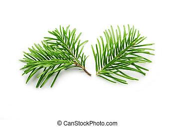 árbol abeto, blanco, ramas, aislado