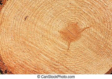 árbol abeto, corte, anillos, recientemente