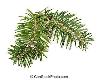 árbol abeto, rama