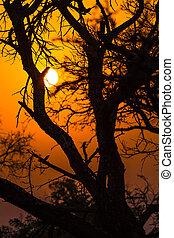 árbol africano, en, ocaso