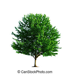 árbol, arce