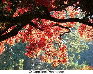 árbol, arce rojo