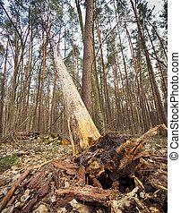 árbol caído, sobresaliente, raíces