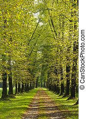 árbol, callejón, en, verano, con, senda