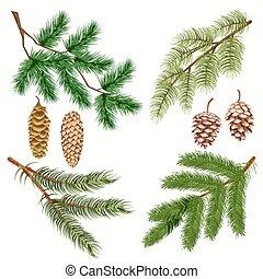 árbol conífero, ramas, con, strobiles, blanco