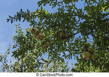 árbol, con, granadas, rojo y amarillo, fruits, verde, leaves.