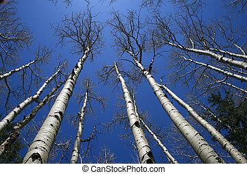 árbol de aspen, arboleda