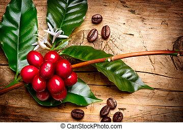 árbol de café, frijoles, rama, plant., rojo