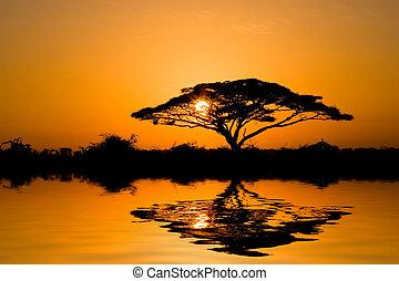árbol de goma arábiga, en, salida del sol