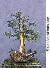 árbol de los bonsai, baccata), (taxus, tejo