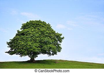 árbol de sicómoros, en, verano