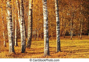árbol del abedul, en, el, autumn.