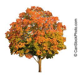 árbol del arce de azúcar, en, el, otoño, aislado, blanco,...