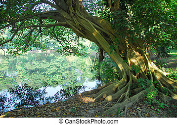 árbol del banyan, raíces
