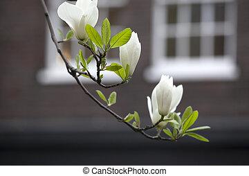 árbol del magnolia, florecimiento, blosom