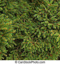 árbol, fir-needle, ramas