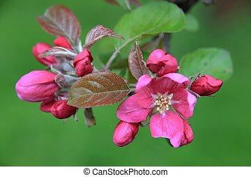 árbol, flor, manzana
