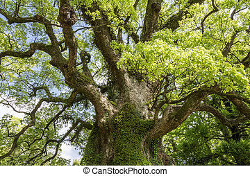 árbol grande, alcanfor