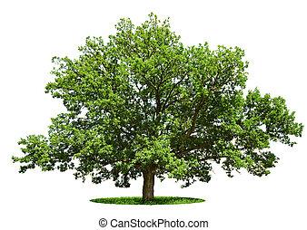 árbol grande, -, roble, aislado, en, un, blanco