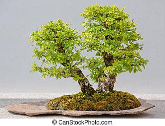 árbol hoja perenne, bonsai, exhibición, japonés