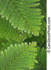 árbol hoja perenne, conífero, hojas