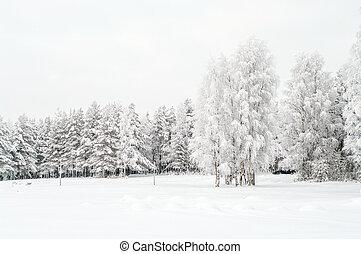 árbol hoja perenne, invierno, pinos, estación, abedules, nieve cubrió, blanco