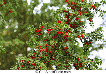 árbol hoja perenne, ramas, árbol, tejo, crecer, bayas, rojo
