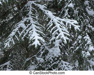 árbol hoja perenne, ramas, nieve
