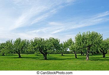 árbol, huerto de manzana