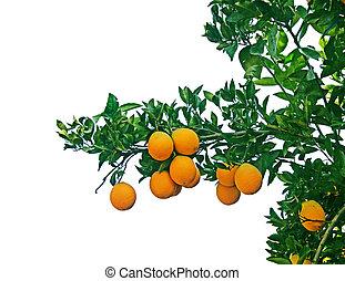 árbol, maduro, naranjas