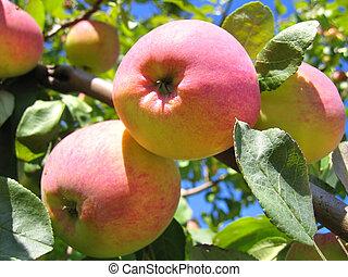 árbol, manzanas, maduro, manzana